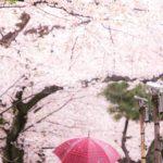 作品「雨時々桜(Rain, sometimes Sakura)」