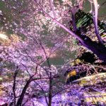 作品「六本木、踊る桜(Dancing Sakura in Roppongi)」