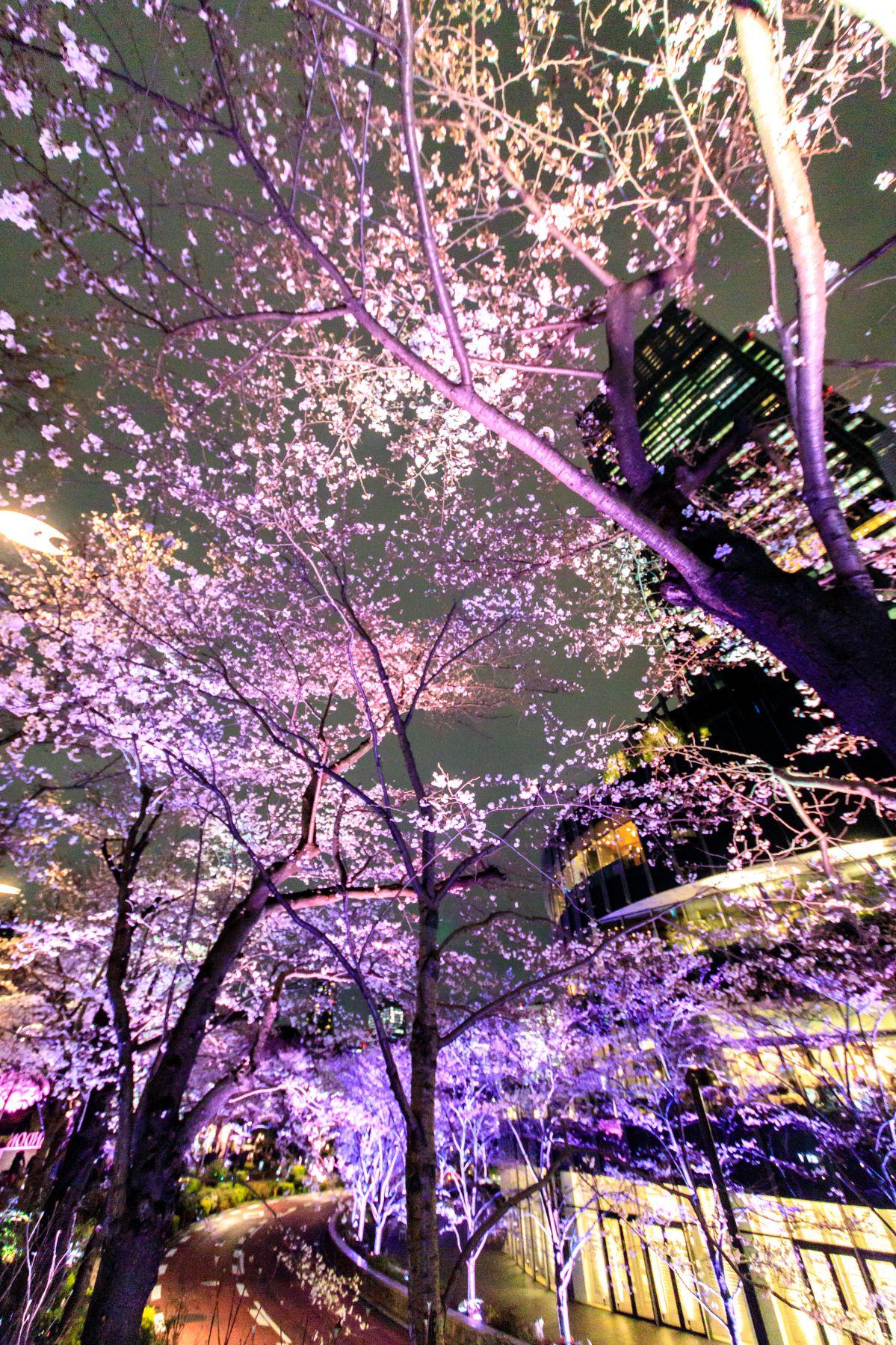 作品「六本木、踊る桜(Dancing Sakura in Roppongi)」