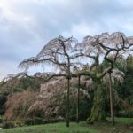 作品「花咲く350歳(350th Sakura Season)」