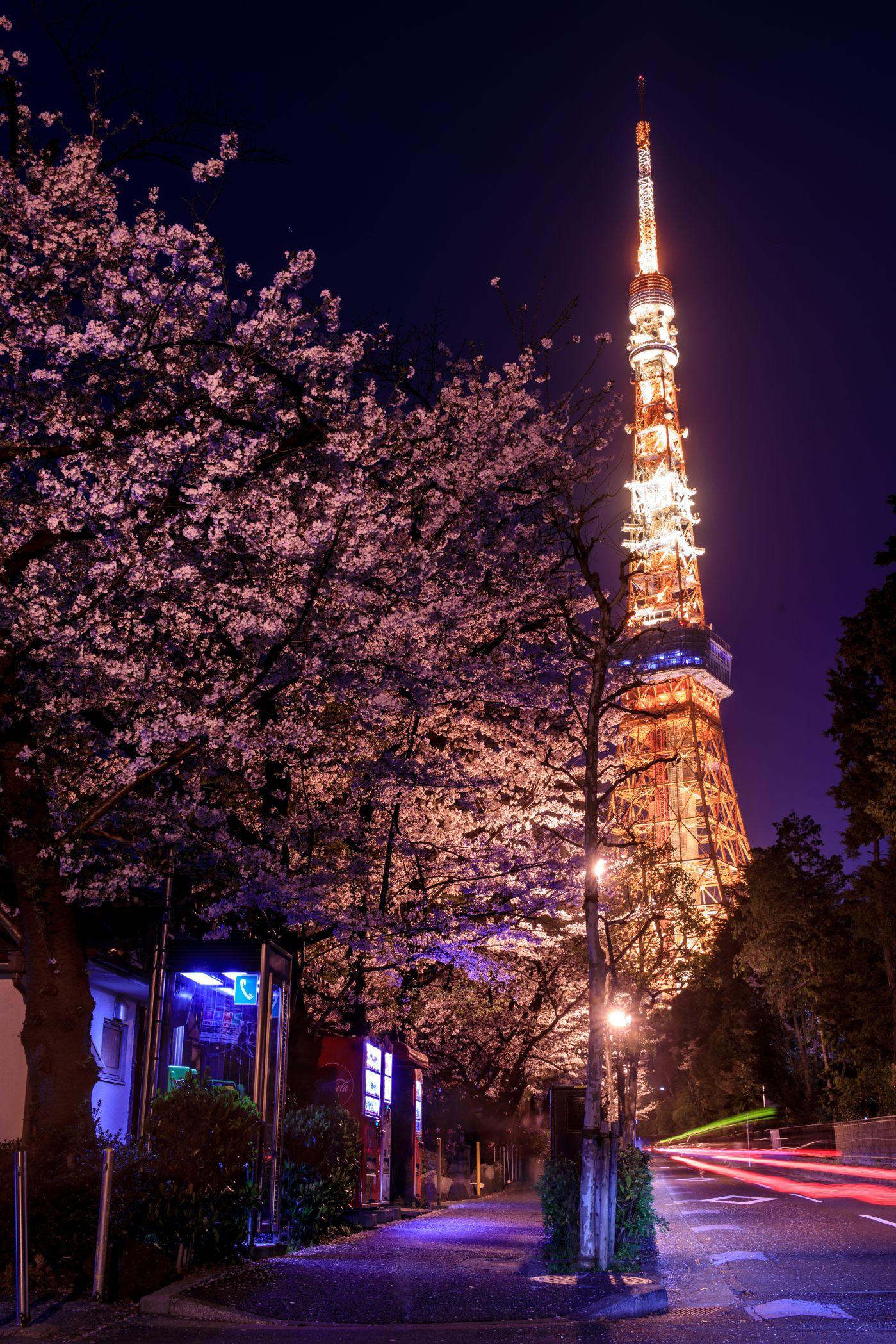 作品「桜参道(Sakura Road to Tower)」