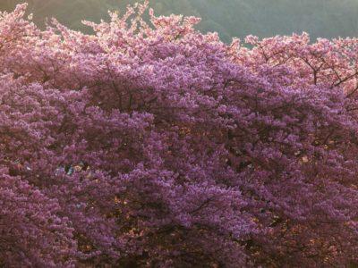 作品「桜の毛布に包まれて(Sakura blanket envelopes me)」