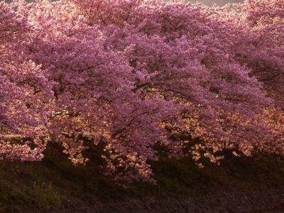 作品「Sakura Dripped Right (Komorebi)」